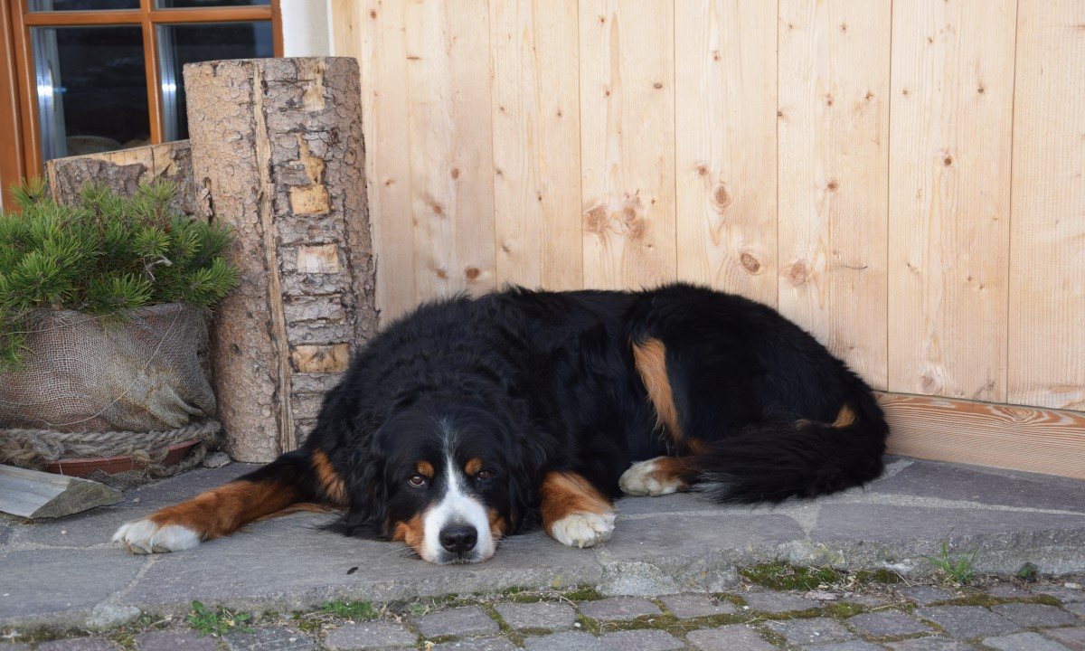 Ingo, the farmyard dog at the Kirchwieserhof